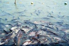 Ψάρια στον ποταμό Πολλά ψάρια περιμένουν να φάνε Ψάρια στο ναό του Τ Στοκ Φωτογραφία