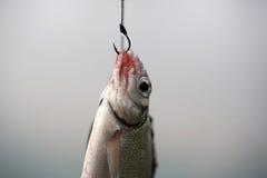 Ψάρια στο αγκίστρι Στοκ Φωτογραφία