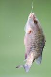 Ψάρια στο γάντζο Στοκ Φωτογραφίες