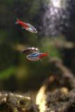 Ψάρια στο εγχώριο ενυδρείο Στοκ Εικόνες