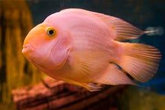 Ψάρια στο ενυδρείο Στοκ εικόνα με δικαίωμα ελεύθερης χρήσης