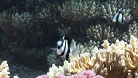 Ψάρια στο κοράλλι στην καθαρή μπλε υποβρύχια Ερυθρά Θάλασσα υποβάθρου φιλμ μικρού μήκους