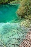 Ψάρια στο σαφές νερό των λιμνών Plitvice, Κροατία στοκ εικόνες