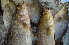 Ψάρια στο υπόβαθρο πάγου Στοκ Εικόνα