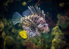 Ψάρια στο aqarium Στοκ εικόνα με δικαίωμα ελεύθερης χρήσης