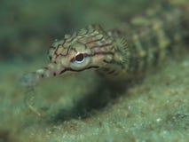 Ψάρια σωλήνων Στοκ εικόνα με δικαίωμα ελεύθερης χρήσης