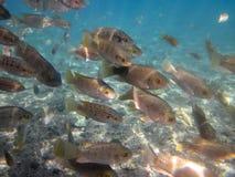 Ψάρια της Ιορδανίας ST Peterâs Στοκ Εικόνες