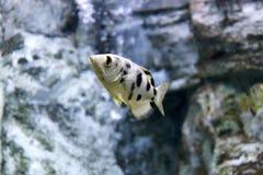 Ψάρια τοξοτών Στοκ Φωτογραφίες