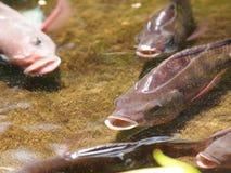 Ψάρια του Νείλου Στοκ Φωτογραφίες