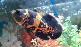 Ψάρια του Oscar στοκ φωτογραφίες με δικαίωμα ελεύθερης χρήσης