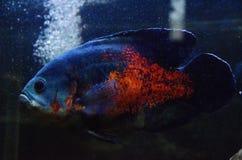 Ψάρια του Oscar Στοκ Φωτογραφίες