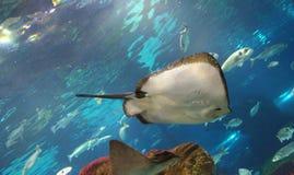 Ψάρια του Ray Στοκ εικόνα με δικαίωμα ελεύθερης χρήσης