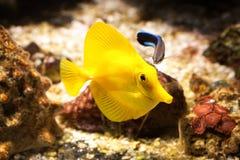 Ψάρια Το κίτρινο ψάρι παρασύρει μεταξύ των κοραλλιών στο ενυδρείο Στοκ Εικόνες