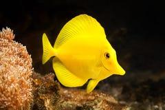 Ψάρια Το κίτρινο ψάρι παρασύρει μεταξύ των κοραλλιών στο ενυδρείο Στοκ εικόνα με δικαίωμα ελεύθερης χρήσης