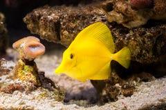 Ψάρια Το κίτρινο ψάρι παρασύρει μεταξύ των κοραλλιών στο ενυδρείο Στοκ Φωτογραφία