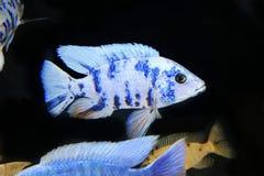 ψάρια τροπικά Στοκ Εικόνα