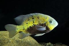 ψάρια τροπικά Στοκ Εικόνες