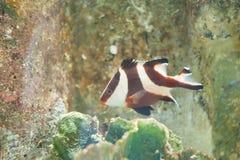 Ψάρια λυθρινιών αυτοκρατόρων Στοκ εικόνα με δικαίωμα ελεύθερης χρήσης
