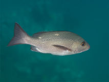 Ψάρια λυθρινιών δύο-σημείων στη θάλασσα υποβρύχια Στοκ φωτογραφία με δικαίωμα ελεύθερης χρήσης