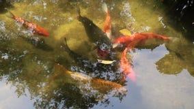 ψάρια χρυσά απόθεμα βίντεο