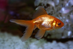 ψάρια χρυσά Στοκ εικόνα με δικαίωμα ελεύθερης χρήσης