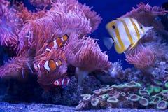 Ψάρια ψαριών και πεταλούδων κλόουν Στοκ Φωτογραφία