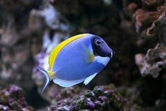 ψάρια acanthurus leucosternon τροπικά Στοκ Φωτογραφίες