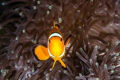 Ψάρια Anemone κλόουν Στοκ Φωτογραφία