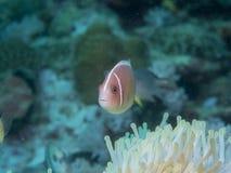 Ψάρια Anemone με Anemone σε υποβρύχιο Στοκ Εικόνες