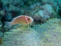 Ψάρια Anemone με Anemone σε υποβρύχιο Στοκ φωτογραφία με δικαίωμα ελεύθερης χρήσης