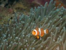 Ψάρια Anemone με Anemone σε υποβρύχιο Στοκ εικόνες με δικαίωμα ελεύθερης χρήσης