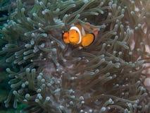 Ψάρια Anemone με Anemone σε υποβρύχιο Στοκ Φωτογραφία