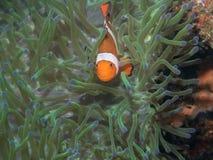 Ψάρια Anemone με Anemone σε υποβρύχιο Στοκ Φωτογραφίες
