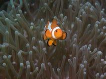 Ψάρια Anemone με Anemone σε υποβρύχιο Στοκ Εικόνα