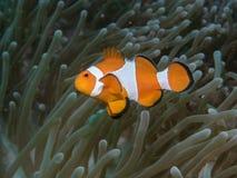 Ψάρια Anemone με Anemone σε υποβρύχιο Στοκ φωτογραφίες με δικαίωμα ελεύθερης χρήσης