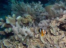 Ψάρια Anemone πέρα από μια κοραλλιογενή ύφαλο Στοκ φωτογραφία με δικαίωμα ελεύθερης χρήσης