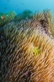 ψάρια anemone Στοκ εικόνες με δικαίωμα ελεύθερης χρήσης