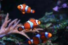 Ψάρια Anemone Στοκ Εικόνες