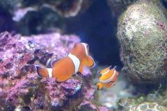 Ψάρια Anemone Στοκ Εικόνα