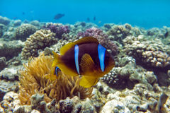 Ψάρια Anemone (bicinctus Amphiprion)) στο υπόβαθρο με το anemone Κοραλλιογενής ύφαλος Στοκ φωτογραφία με δικαίωμα ελεύθερης χρήσης
