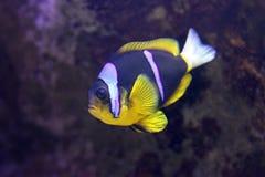 Ψάρια Anemone Clarks Στοκ Εικόνα