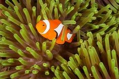 Ψάρια Anemone Clow Στοκ Φωτογραφία