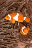 Ψάρια Anemone Clow Στοκ Εικόνες