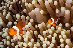 Ψάρια Anemone Clow Στοκ φωτογραφίες με δικαίωμα ελεύθερης χρήσης