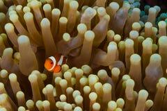 Ψάρια Anemone Clow Στοκ φωτογραφία με δικαίωμα ελεύθερης χρήσης