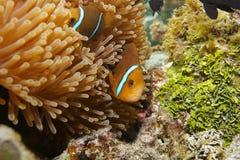 Ψάρια anemonefish που κρύβονται στα πλοκάμια anemone θάλασσας Στοκ Φωτογραφία