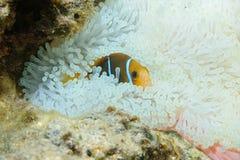 Ψάρια anemonefish που κρύβουν στα πλοκάμια anemone Στοκ Εικόνα