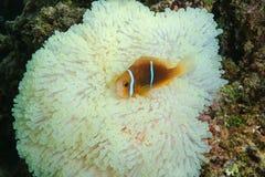 Ψάρια anemonefish στα πλοκάμια anemone θάλασσας Στοκ Φωτογραφία