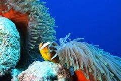 Ψάρια Anemones και nemo Στοκ φωτογραφία με δικαίωμα ελεύθερης χρήσης