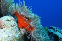 Ψάρια Anemones και nemo Στοκ Φωτογραφίες